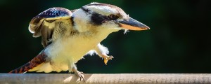 Kookaburra walking